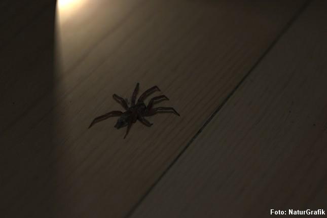 Lyset tændes - og dér er den! Museedderkoppen er ude på sin natlige jagt i huset.