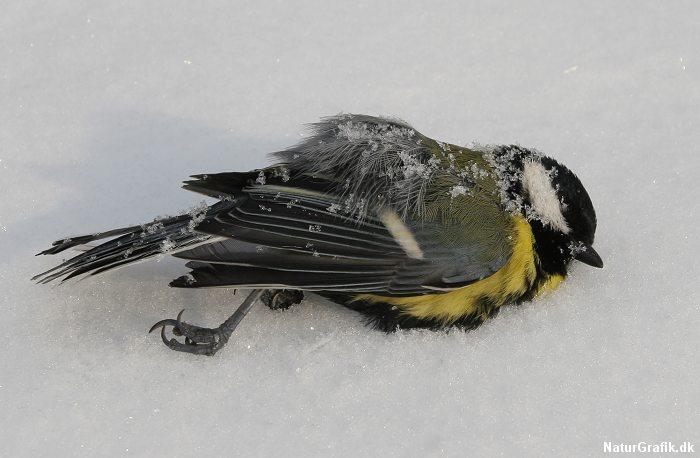 Vinteren dræber småfugle