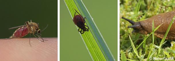Myg, skovflåter og snegle er ikke glade for sommertørken.