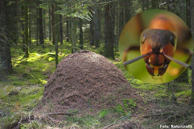 Skovmyrerne er blevet aktive. På solrige forårsdage sidder de i store myreklumper udenpå tuen.