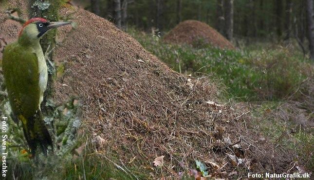 Grønspætte ved myretue. Fotografik: Sven Teschke og NaturGrafik.dk