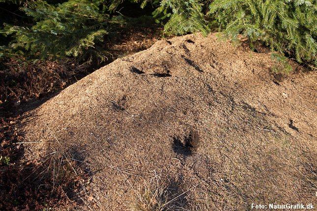 Huller i myretuen efter spætteangreb.