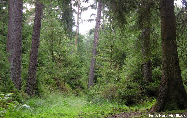 De fleste nåletræer er indført til Danmark og regnes ikke for hjemmehørende. Måske bør rødgranen accepteres som en af vores naturlige arter?