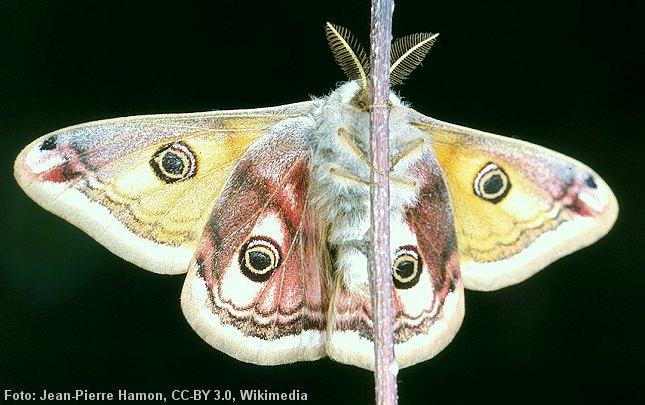 Hannen af Lille Natpåfugleøje bruger sine buskede antenner til at opfange dufte fra hunner. Foto: Jean-Pierre Hamon, CC-BY 3.0, Wikimedia.