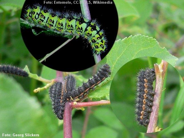 Lille natpåfugleøjes larver findes især gerne på hedearealer. I det tidlige larvestadie er larverne sorte. Senere bliver larven flot grøn. Foto: Georg Slickers og Entomolo, Wikimedia.