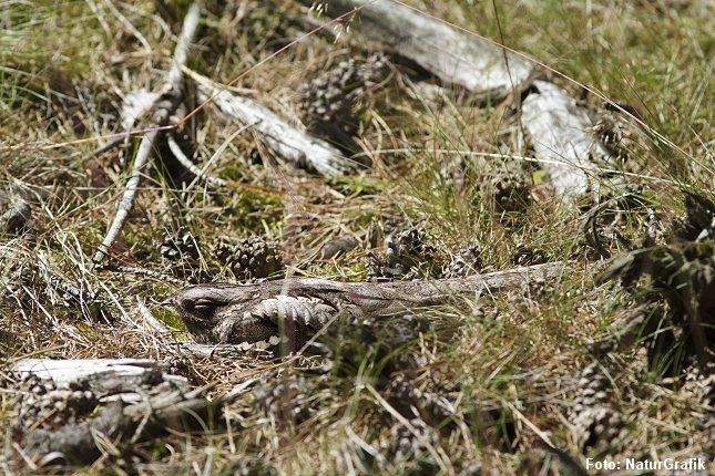 Natravnen er mester i kamuflage. Den er nærmest umulig at få øje på, hvis man ikke ved den er der. Foto: Niels Lisborg/NaturGrafik.