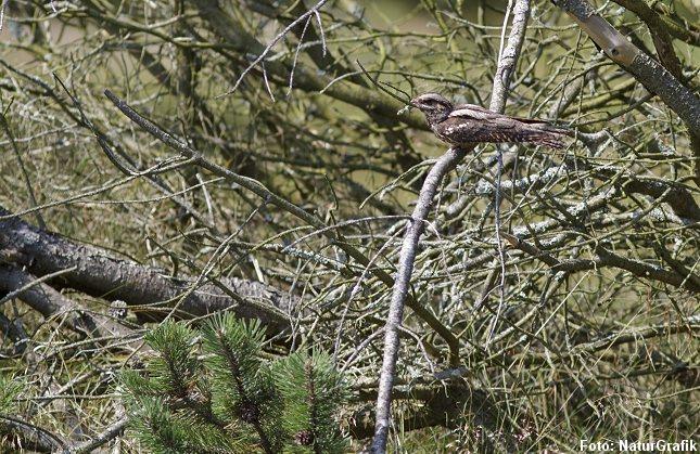 I dagtimerne hviler natravnen ofte på en gren og stoler trygt på sin kamuflage. Her er det dog forældrefuglen, der vender tilbage efter at være blevet forstyrret ved reden.