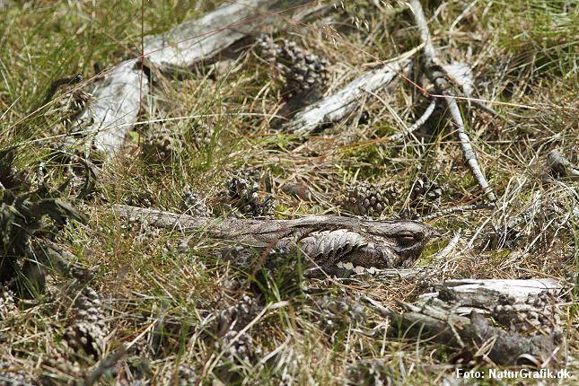 En lang række, danske fuglearter forstår også at kamuflere sig. Blandt de dygtigste hører natravnen, der her ligger på rede. Foto: NaturGrafik.dk.