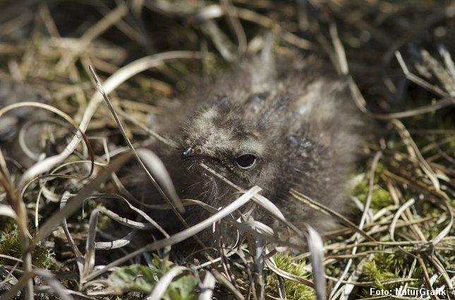 Natravneungen er næsten lige så godt kamufleret som den voksne fugl.