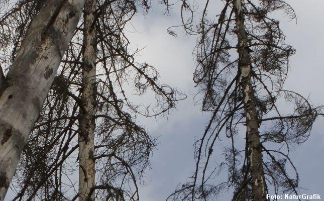 De danske skove mangler døde træer af hensyn til biller, svampe, fugle med flere, men der er ikke meget liv knyttet til døde grantræer.