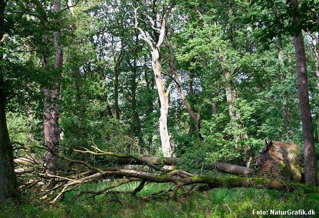 Naturskov, hvor væltede løvtræer efterlades til insekter og svampe.