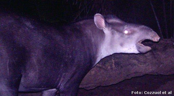 En hidtil ukendt tapir-art fotograferet af en fotofælde i Amazonregnskoven. Foto: Cozzuol et al.