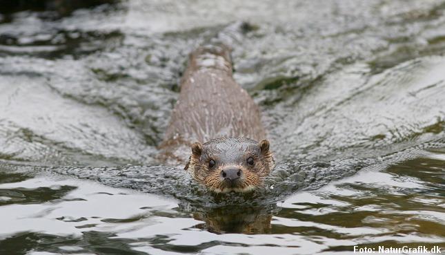 Odderen er tilpasset et liv i vand. Foto: Sabine Jensen/NaturGrafik.dk