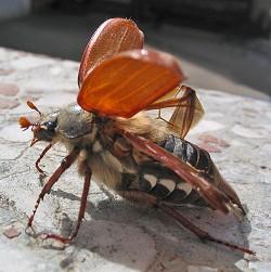 Oldenborren har vinger under det hårde dækskjold. Foto: Darkone, CC Wikipedia.