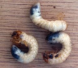 Oldenborrens larver blev tidligere betragtet som alvorlige skadedyr. Foto: Rasbak, CC BY-SA 3.0, Wikipedia.