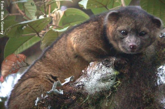 Den nyopdagede dyreart er hjemmehørende i de højtliggende tågeskove i Colombia og Ecuador. Foto: Mark Gurney.