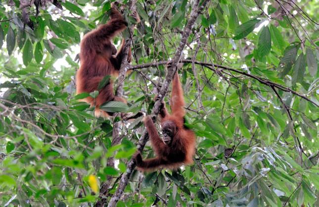 Vilde orangutanger. Foto: michael hoefner, CC BY-SA 3.0, Wikimedia.