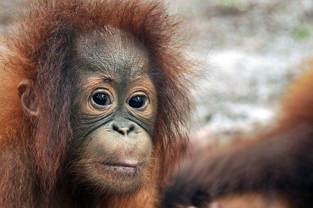 Det går den forkerte vej for orangutangerne på Borneo. Foto: Red Orangutangen/http://savetheorangutan.org