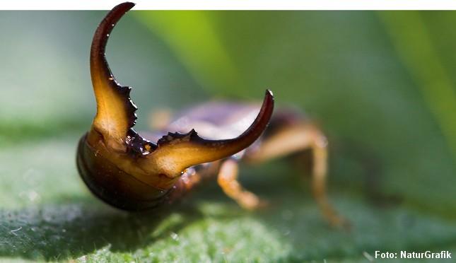 Tangen hos han-ørentvisten (foto) er kraftigere end hos hunnen.