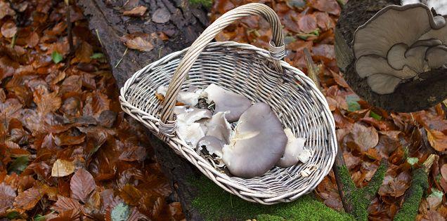 Find østershatte – sommer og vinter