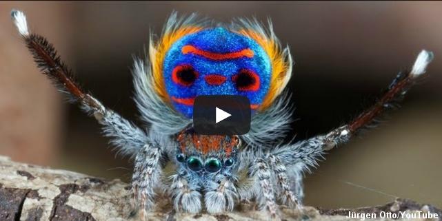 Påfugleedderkop fortryller med dans