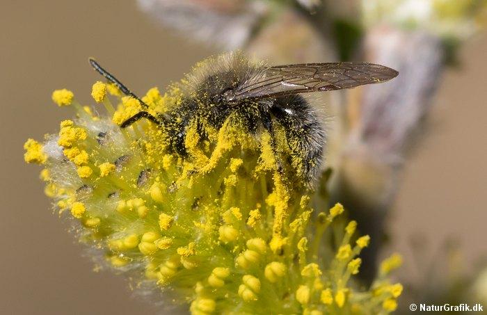 Bierne er også glade for pilens blomster. Her er en bi blevet helt gul af pileblomsternes rige pollen.