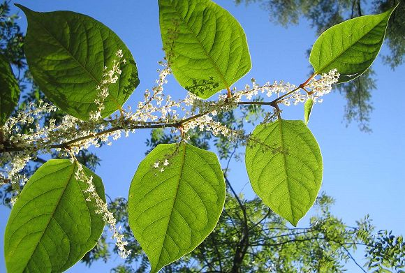 Japansk pileurt breder sig i Danmark og det kan koste dyrt. Japansk pileurt er en op til 2,5 meter høj plante, der kan danne tætte bestande. Foto: Michael Gasperl, Wikipedia.