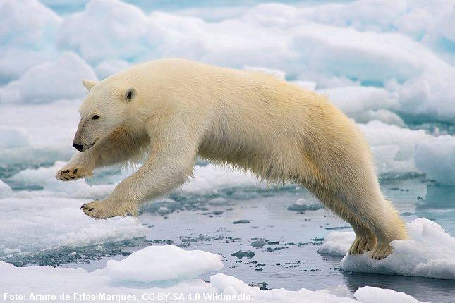 Isbjørnens jagtmarker på havisen indskrænkes som følge af klimaforandringerne. Foto: Foto: Arturo de Frias Marques, CC BY-SA 4.0 Wikimedia.