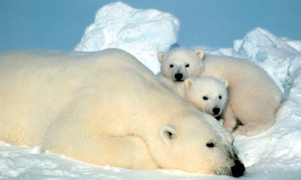 Godt nyt for norske isbjørne