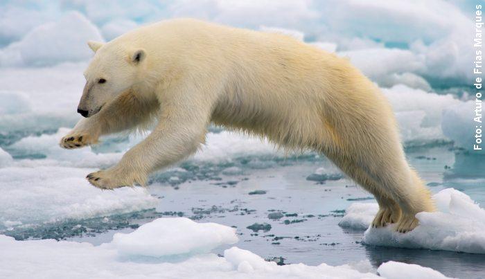 Isbjørnen trues af klimaforandringer. Bestanden i Alaske nærmer sig en halvering. Foto: Arturo de Frias Marques/Arturodefrias.com.