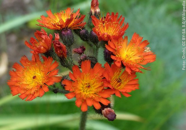 Pomeranshøgeurt blomstrer i juni og juli. Foto: Orchi, CC BY-SA 3.0,Wikipedia.