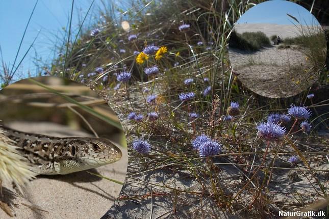 Selve milen er ren sand og her findes ingen plantevækst. Derimod findes der mange spændende planter ved sandmilens fod. Bl.a. de nøjsomme blåmunke, der kan gro i det tørreste sand. Vi så desuden markfirben og almindelig firben.