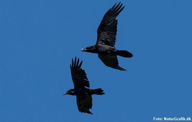 Ravnen er den største af kragefuglene og kan nå et vingefang på 120-150 cm.