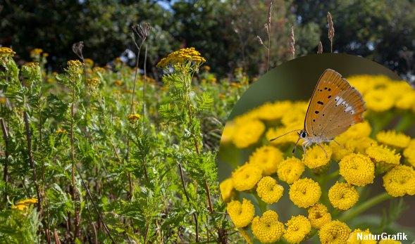 Fra højsommer til det tidlige efterår blomstrer den gule rejnfan. Den krydret duftende plante har en spændende historie.