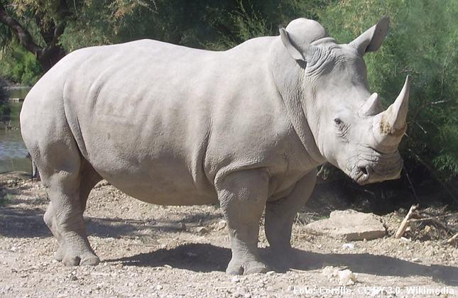 Et amerikansk firma vil producere kunstigt næsehornspulver. Foto: Coralie, CC-BY 3.0, Wikimedia.