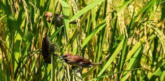 Kan fugle tåle ris