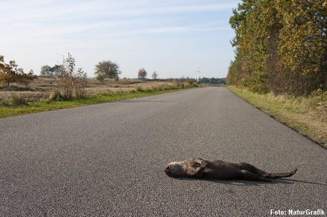 Hvert år dræbes mange oddere i trafikken.