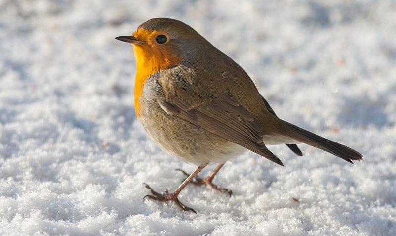 Rødhallsen synger om vinteren