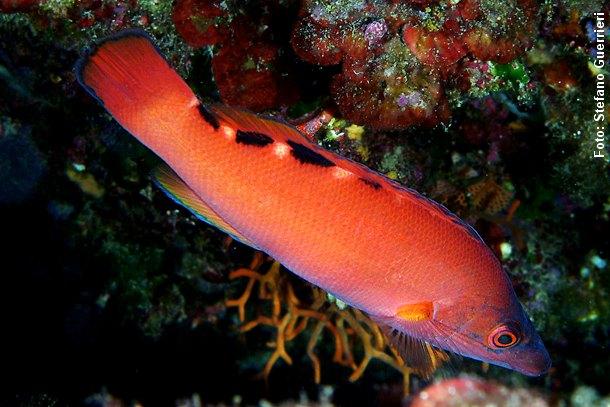 Hunnen kaldes for rødnæb og hannen for blåstak. Her en smuk orangerød hun. Foto: Stefano Guerrieri, Wikimedia.