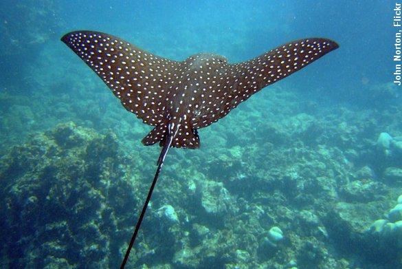Plettet ørnerokke glider gennem vandet. Hver fjerde haj- og rokkeart er i fare for at uddø. Foto: John Norton, Flickr.