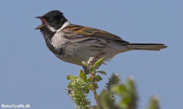 Forskere udvikler ny software, der kan identificere de forskellige fuglesange fra hinanden. Her en syngende, dansk rørspurv.