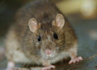 Rotter i bilen? Sådan holder du rotterne på afstand!