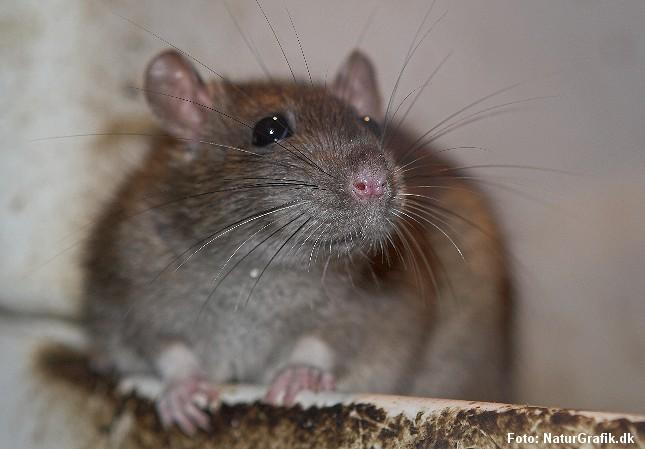 Rotter bliver tykkere af luftforurening.