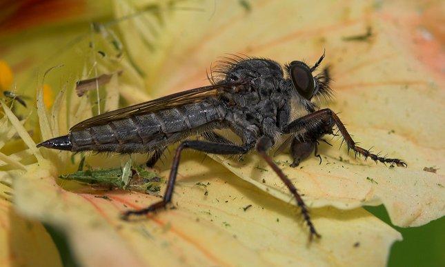 Rovfluer er som navnet angiver rovinsekter, der fanger andre insekter, herunder fluer - og udsuger dem med deres spidse snabel.