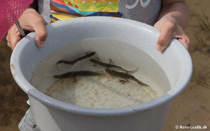 Salamandere
