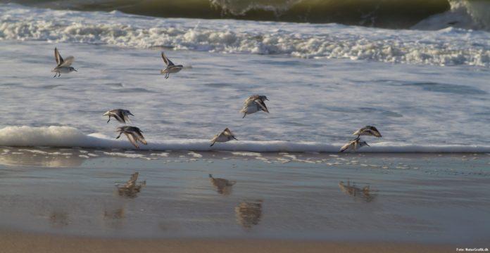 Oplev sandløberen ved kysten