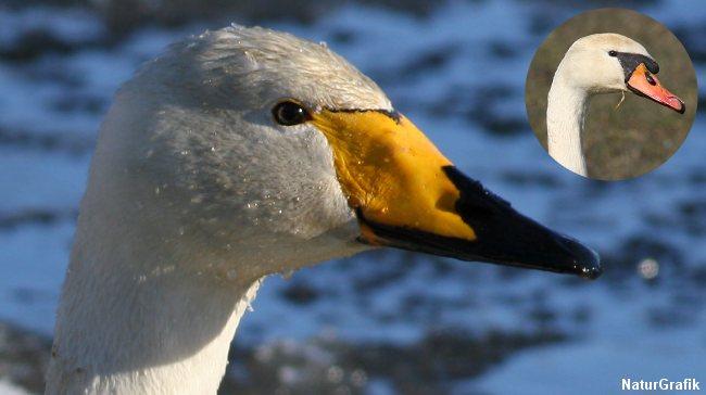Sangsvanen med sit gule næb adskiller sig tydeligt fra knopsvanen, der har rødligt næb.