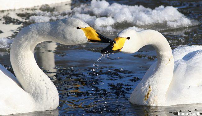 Sangsvaner fra Rusland og det nordlige Skandinavien nyder den danske vinter.