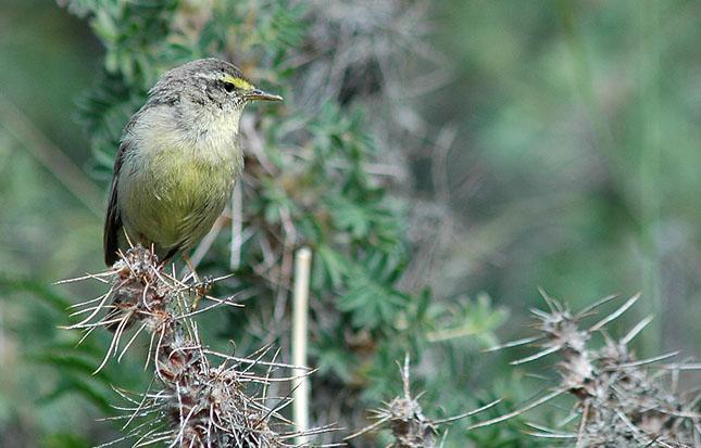 Fuglen blev opdaget af ornitologen Sebastian Klein, der bl.a. er kendt fra naturudsendelser i børne-tv. Foto: Henrik Haaning Nielsen.