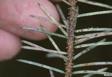 sitkalus - bladlus på gran